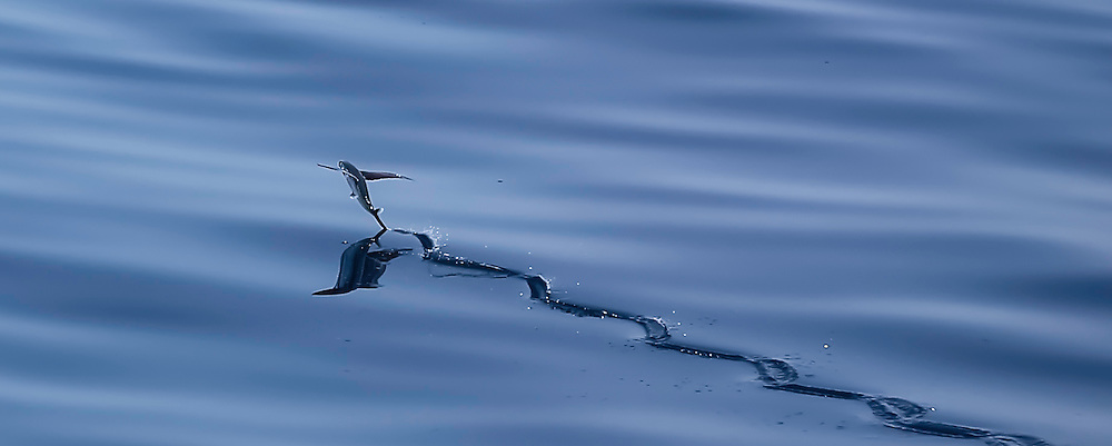 Flying fish going airbourne, offshore Lobito, Angola.