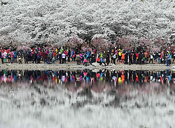 March 28, 2017 - Beijing, China - Tourists view annual cherry blossoms at Yuyuantan Park in Beijing. Over 2,400 cherry trees blossomed recently at the park. (Credit Image: © Xinhua via ZUMA Wire)