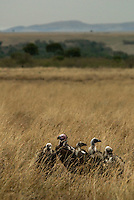 Lappet-Faced Vultures in the Masai Mara National Park, Kenya
