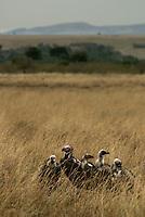 Lappet-Faced Vultures in the Masai Mara National Park, Kenya