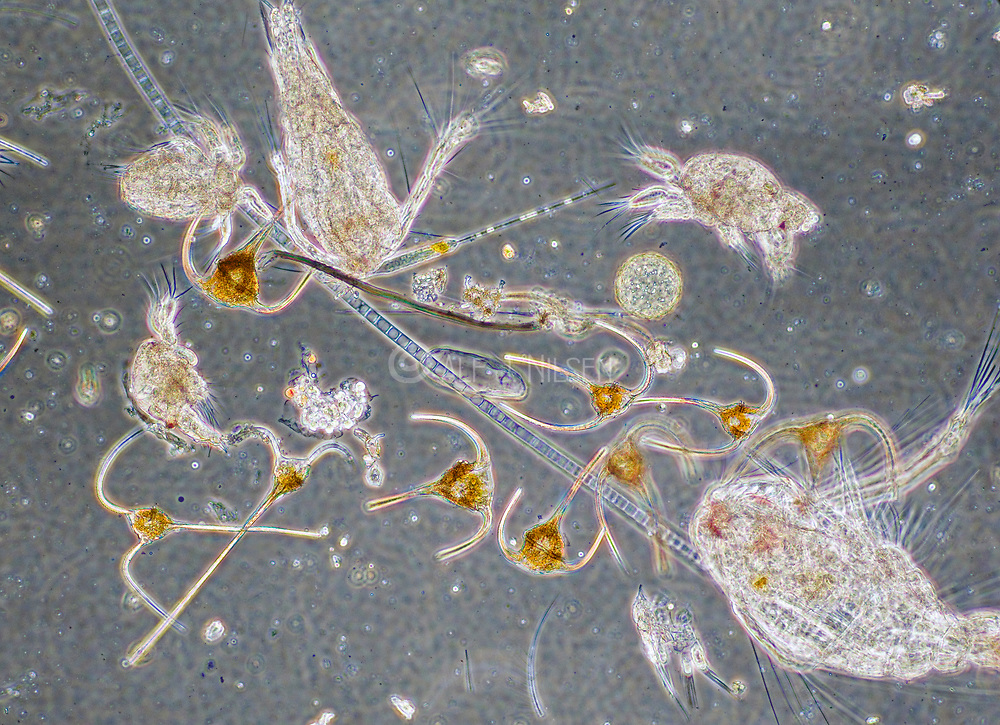 Diverse marine plancton sample from south-western Norway in August.