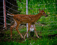 Fawn with spots staying outside electric fence. Image taken with a Fuji X-T2 camera and 100-400 mm OIS lens