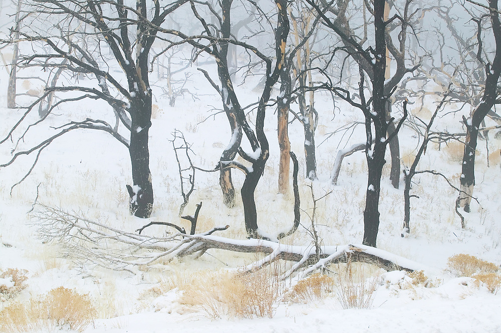 burned forest in snow and fog, South Rim Grand Canyon, Grand Canyon National Park, Arizona
