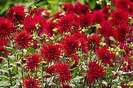 Dahlia 'Doris Knight'  deep red cactus dahlias in The Savill Garden, Surrey, UK