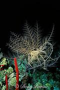 basket star, Astrophyton <br /> muricatum, feeding at night,<br /> Grand Cayman, Cayman Islands  <br /> British West Indies ( Caribbean Sea )