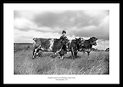 Champion heifers pictured at Castleisland, County Kerry.<br /> <br /> 10th September 1965<br /> <br /> 10/09/1965