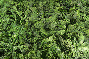 Dried green algae (Ulva sp.), Roscoff, France | Getrocknete Grünalgen auch Ulva oder Meersalat genannt. Roscoff, Frankreich  Firma: BIOCEAN Contact : M. Patrick Podeur