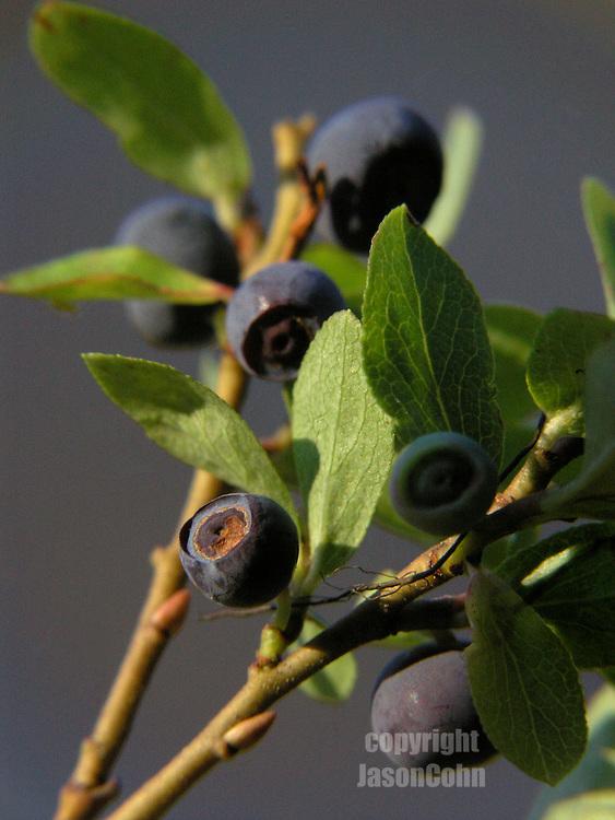 Wild Huckleberries in Glacier Park, Montana. Photo by Jason Cohn