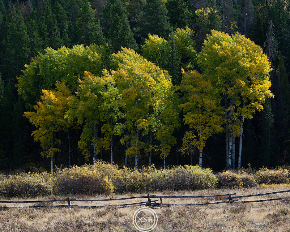 A colorful Autumn tree line in Teton National Park.