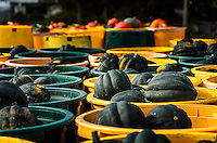 A few flatbeds loaded with varying types of organic squash, fresh from the fields at Muth's Family Farm, are ready for sorting and boxing.