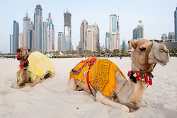 beach at Jumeirah Camels on Beach resort district with high rise buildings to rear in Dubai, United Arab Emirates,UAE