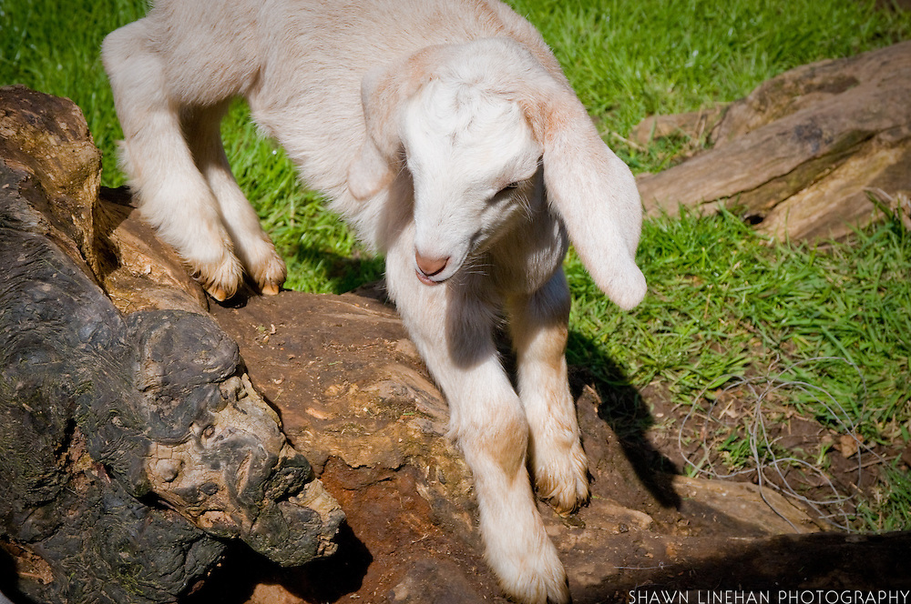 This baby goat was born on small backyard farm in Portland, Ore. It can already jump, run and play after being one week old.