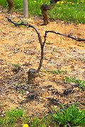 A vine in the Hermitage vineyard. The vine is very old but the main trunk of the vine has been cut a few years ago to 'rejuvenate' the vine. A new branch has grown out from the old trunk and is now the main vine. Trained in Double Cordon Royat. Tain l'Hermitage, Drome, Drôme, France, Europe