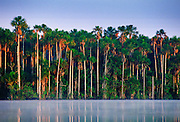 Palm trees at Lake Sandoval, Peruvian Rainforest, South America