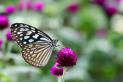 Blue Tiger (Tirumala limniace) butterfly Photographed in India
