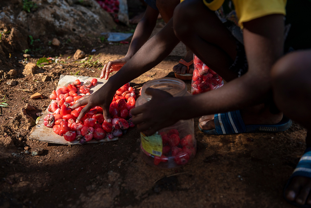 Jayapura, Papua, Indonesia - July 15, 2017: Kids gather up lau lau, a crunchy fruit which they had knocked lose from tree branches moments earlier.