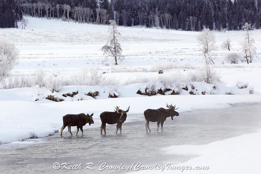 Three Bull Moose Crossing River in Winter