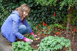 Planting daffodil bulbs in a border