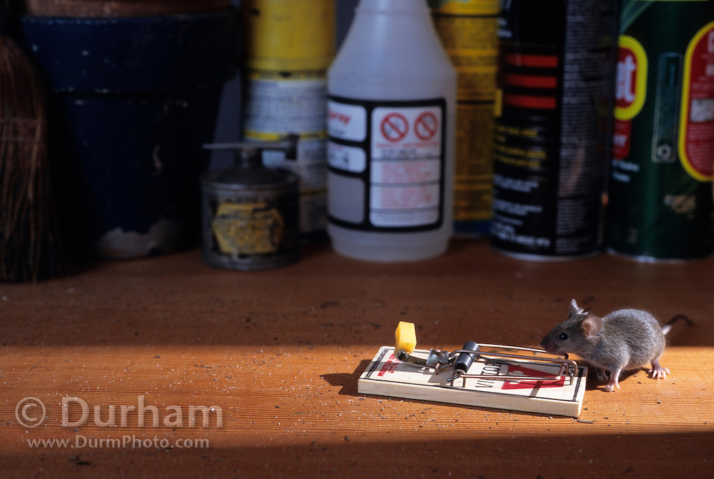 A house mouse (Mus musculus) about to spring a mouse trap. Captive.