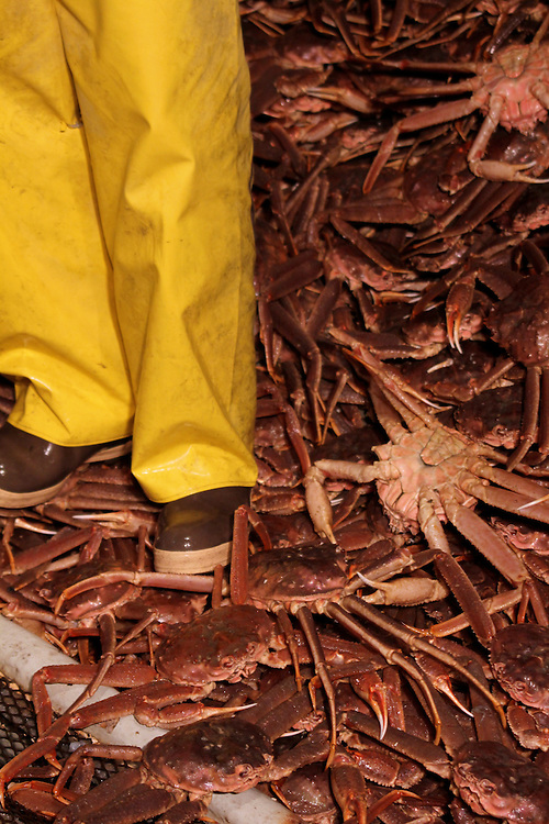Worker off loading tanner crab from a boat's fish hold in Kodiak, Alaska.