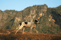 Dog on a farm near Vinales; Pinar Province; Cuba; with a mogote  limestone formation  in background,