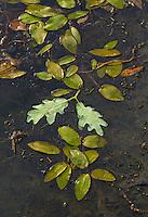 PYRENEAN OAK - ROBLE REBOLLO O MELOJO  (Quercus pyrenaica), Campanarios de Azaba Biological Reserve, Salamanca, Castilla y Leon, Spain, Europe