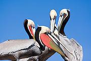 Brown Pelicans (Pelecanus occidentalis) stand together on Isla Pitahaya in Bahia de Concepcion, Baja California Sur, Mexico. Brown Pelicans live in colonies, usually on islands like this one in the Sea of Cortez.