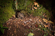 A mountain beaver (Aplodontia rufa) at its burrow. It has several common names, including aplodontia, boomer, ground bear, and giant mole. This species is the only living member of its genus, Aplodontia, and family, Aplodontiidae. It only lives in a narrow band along the West Coast of British Columbia, Washington, Oregon and California. It should not be confused with true beavers,  such as the North American beaver, to which it is not closely related.