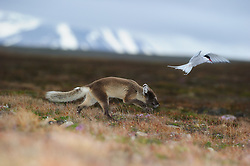 Arctic Fox in Spitsbergen, Svalbard