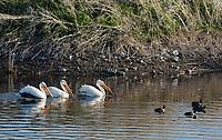 American White Pelicans, Pelecanus erythrorhynchos, and American Coots, Fulica americana, swimming at Lower Klamath National Wildlife Refuge, Oregon