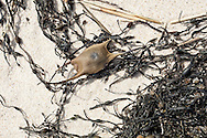 A skate egg case laying on rockweed on Nauset Beach.