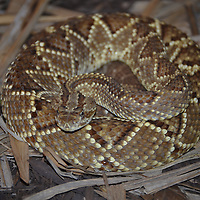 Diamond Back Rattlesnake at the Pittsburgh Zoo