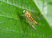 Close up of a male Little snipefly (Chrysopilus asiliformis) resting on a leaf in a Surrey garden in summer