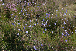 Grasklokje, Campanula rotundifolia