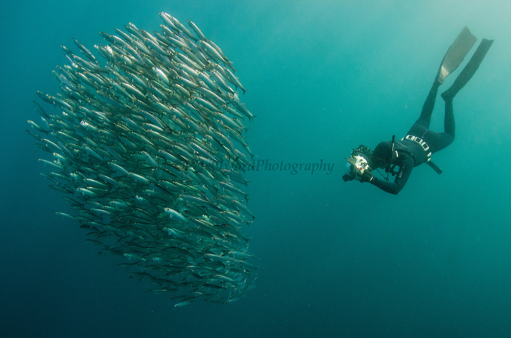 South African sardine (Sardinops sagax) & snorkeler<br /> Forming baitball<br /> Sardine run,<br /> Eastern Cape<br /> SOUTH AFRICA