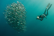 South African sardine (Sardinops sagax) & snorkeler<br /> Forming baitball<br /> Sardine run,<br /> Eastern Cape<br /> SOUTH AFRICA