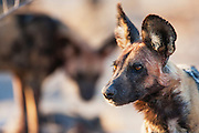 After returning to the den from a successful hunt, Wild Dogs (Lycaon pictus) are watchful for other predators when the den is active with pups, Moremi Game Reserve,Botswana, Africa