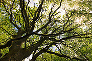 "Sunlight shines through the branches and leafage of large and old oak tree (Quercus robur), nature reserve ""Vidusburtnieks"", Latvia Ⓒ Davis Ulands 