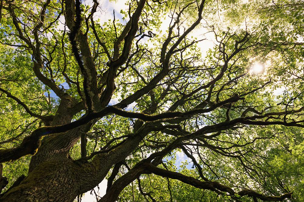 "Sunlight shines through the branches and leafage of large and old oak tree (Quercus robur), nature reserve ""Vidusburtnieks"", Latvia Ⓒ Davis Ulands   davisulands.com"