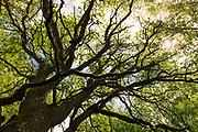 "Sunlight shines through the branches and leafage of large and old oak tree (Quercus robur), nature reserve ""Vidusburtnieks"", Latvia Ⓒ Davis Ulands | davisulands.com"