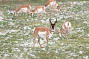 Buck Pronghorn (antelope) in habitat