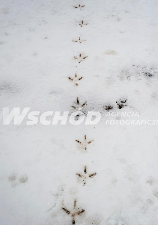 10.04.2013 Bialystok Ok 150 bocianow koczuje na sniegu przy ul Dolistowskiej . Tydzien wczesniej ludzie zaczeli dokarmiac zmarzniete i glodne ptaki , wtedy bylo ich ok 40 . Obecnie tak przyzwyczaily sie do ludzi , ze nie uciekaja a ich liczba znacznie sie powiekszyla . Pozywienia szukaja rowniez w pobliskiej sortowni smieci n/z slady bocianow na sniegu fot Michal Kosc / AGENCJA WSCHOD