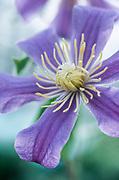 Clematis 'Juuli' - integrifolia clematis