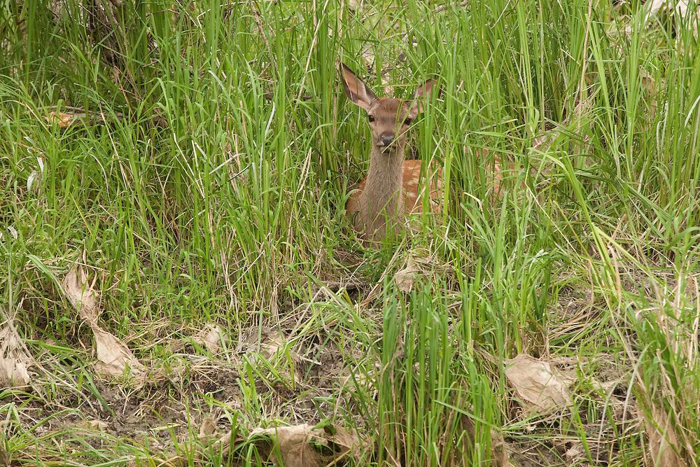 Red deer calve (Cervus elaphus) hidden in bush, Gornje Podunavlje Special Nature Reserve, Serbia