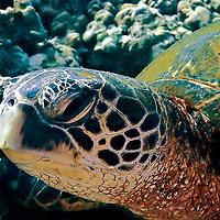 Close up, Green Sea Turtle Maui, Chelonia mydas, Linnaeus 1758, Maui Hawaii
