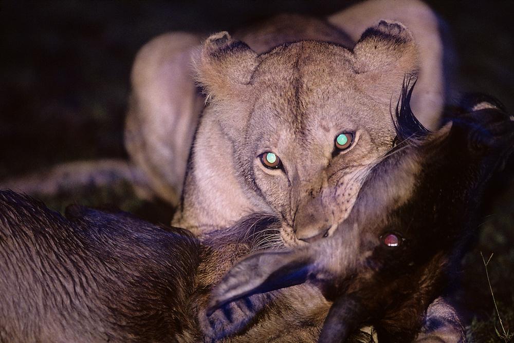 Africa, Kenya, Masai Mara Game Reserve, Adult Lioness  (Panthera leo) suffocates Wildebeest calf (Connochaetes taurinus)