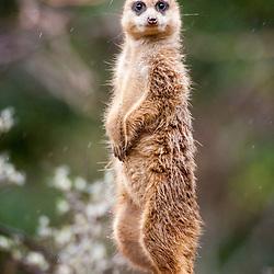 Meerkats at Edinburgh Zoo 6/4/2012