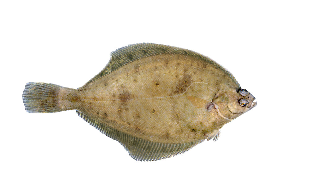 Dab Limanda limanda Length to 25cm<br /> Robust flatfish, found on sandy coasts. Adult lives with right side, and eyes (which are relatively large), facing uppermost. Lateral line on upper surface does a curving detour around above pectoral fin. Upper surface is rough and marbled orange-brown and grey. Widespread and locally common except in N and NE; declining everywhere.