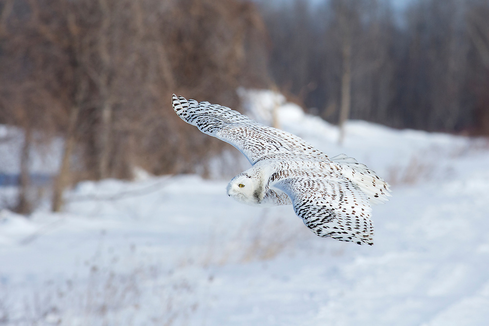 """Snowy owl in flight.<br /> <br /> Available sizes:<br /> 18"""" x 12"""" print <br /> 18"""" x 12"""" canvas gallery wrap <br /> <br /> See Pricing page for more information. Please contact me for custom sizes and print options including canvas wraps, metal prints, assorted paper options, etc. <br /> <br /> I enjoy working with buyers to help them with all their home and commercial wall art needs."""
