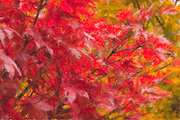 Raindrops on Japanese Maple highlight the red burst of color in a composite watercolor fine art photograph. 12x18 on Bamboo Watercolor Paper